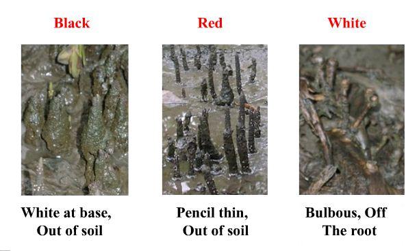 أنواع المنغروف حسب  الجذور